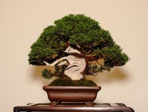 John A's stunning shohin juniper
