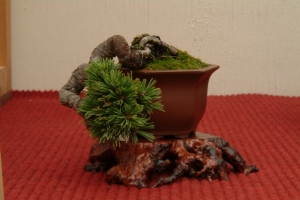 Bob B's mame juniper - approx height 4inches