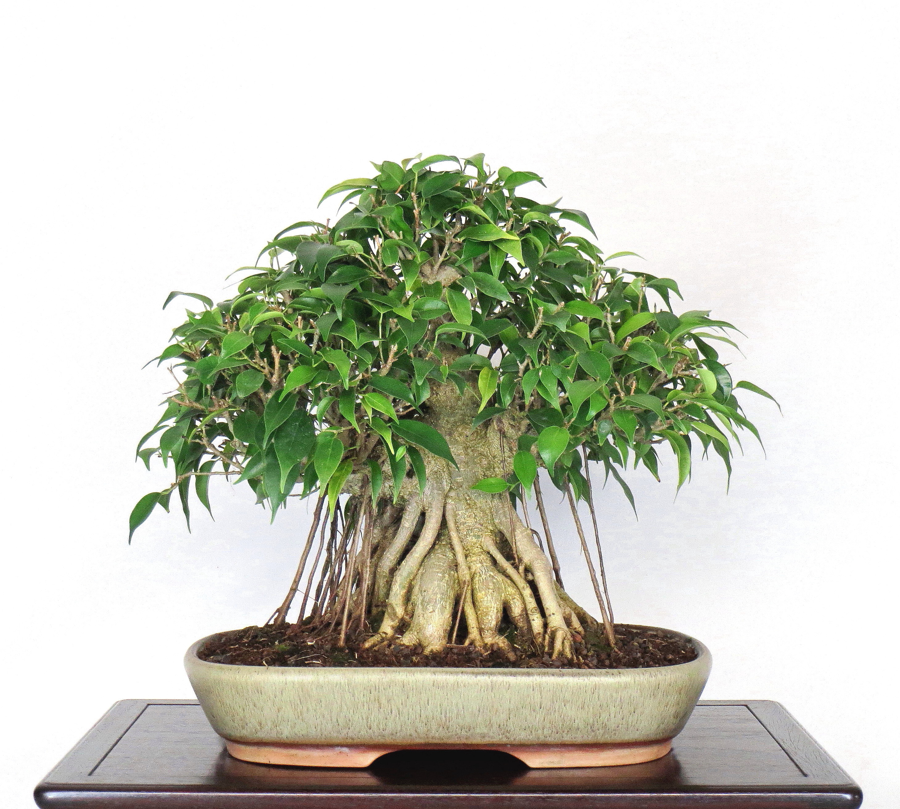 Ficus In The Cold North British Shohin Bonsai