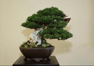 Steve Tolley's sublime Itoigawa juniper - winner of Best Chuhin