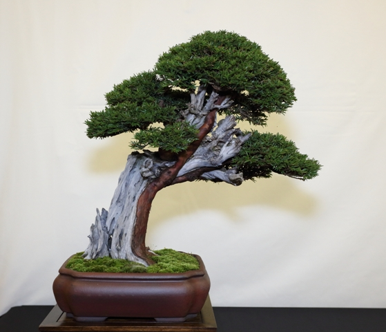 Best Chuhin Display and Best in Show - Taxus - John Pitt Red